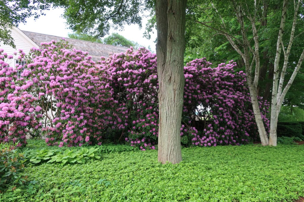 Beautiful rhododendrons in bloom