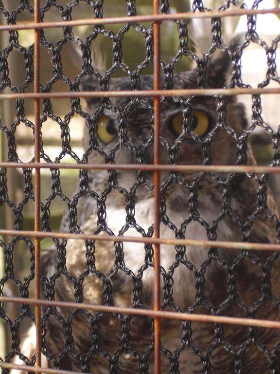 Sociable horned owl eyes wide open - Odin the Horned Owl at Audubon House PA