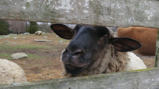Sheep poking out a pen. Barberry Hill Farm, Madison, CT #CTVisit @GetawayMavens