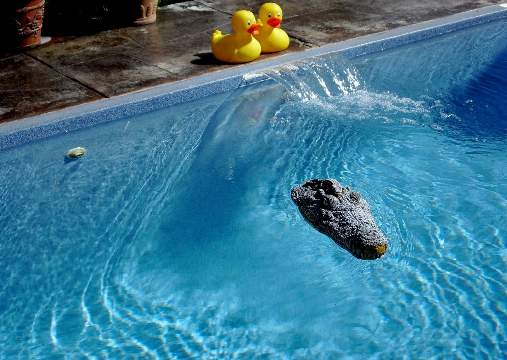 Twin rubber duckies and rubber alligator head float in sparkling pool. Crowne Pointe Inn pool
