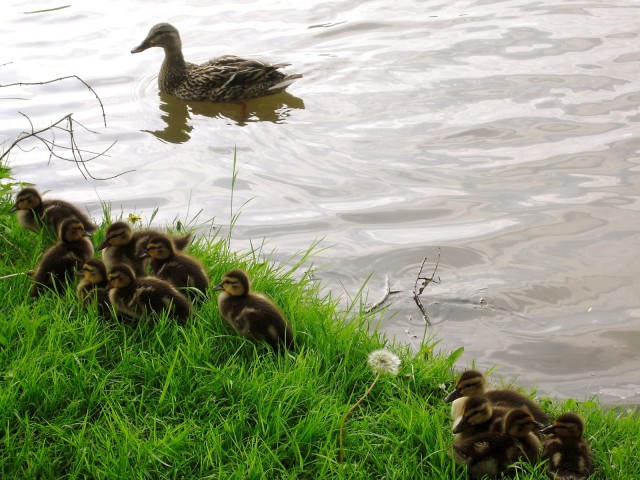 a dozen baby ducklings on riverbank with mother Mallard in river at sunset
