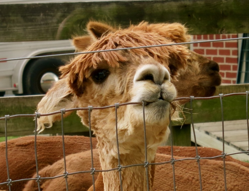 Mop top alpaca chewing wire fence at Eastland Alpacas in Lancaster PA Amish Country