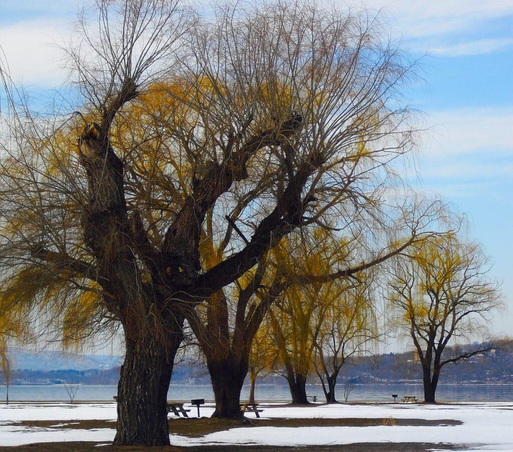 Trees in Winter at Croton Point Park Croton-On-Hudson NY