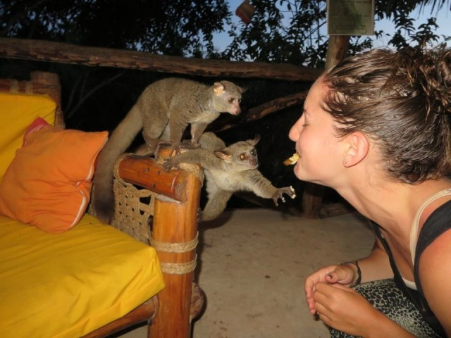 Feeding Bush Baby's, Diani Beach, Kenya