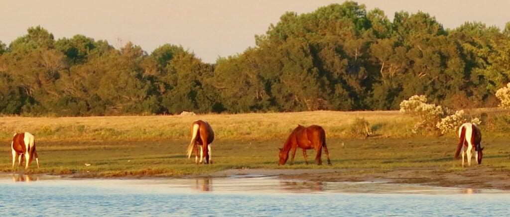 Wild horses in Chincoteague VA