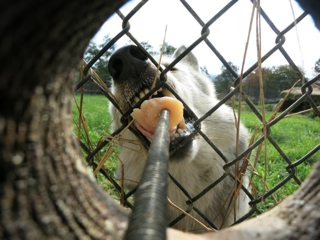 Feeding wolf at Nemacolin Wildlife Academy