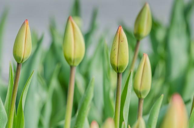Tulip buds. Silverstream, Darwin Hybrid Family #garden #NewYork @GetawayMavens