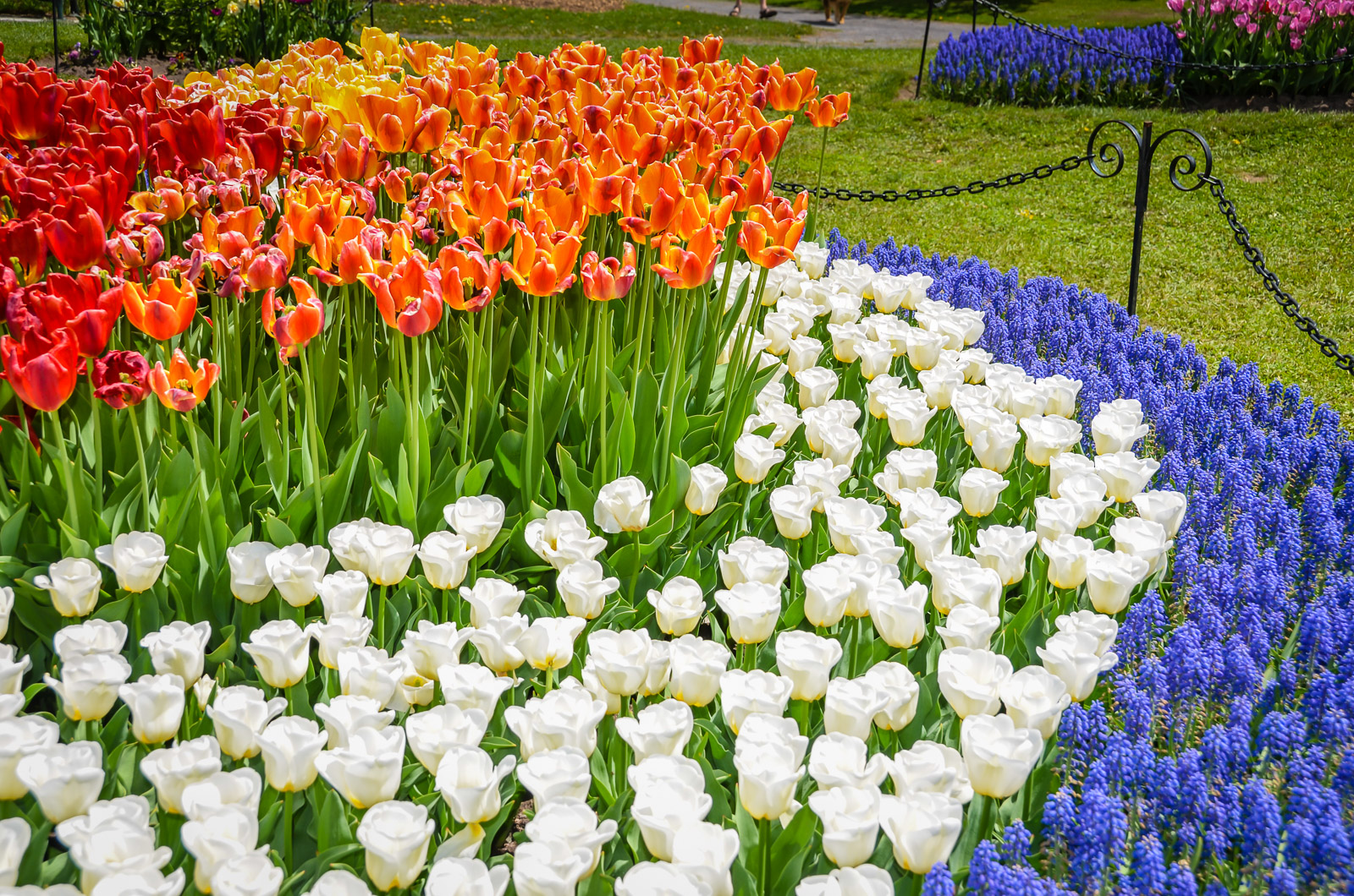 100 000 Tulips Blossom In Washington Park Albany Ny