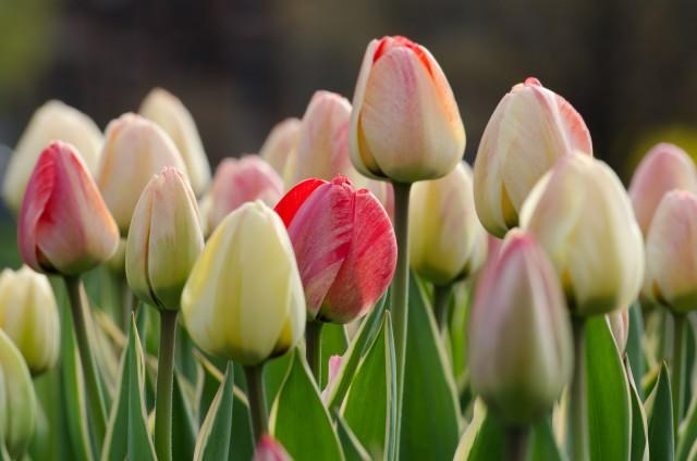 Silverstream, Darwin Hybrid Family #tulip #garden @GetawayMavens
