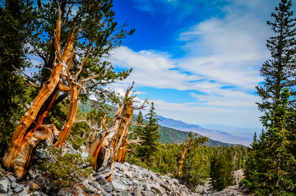 Bristlecone Pines - Great Basin National Park