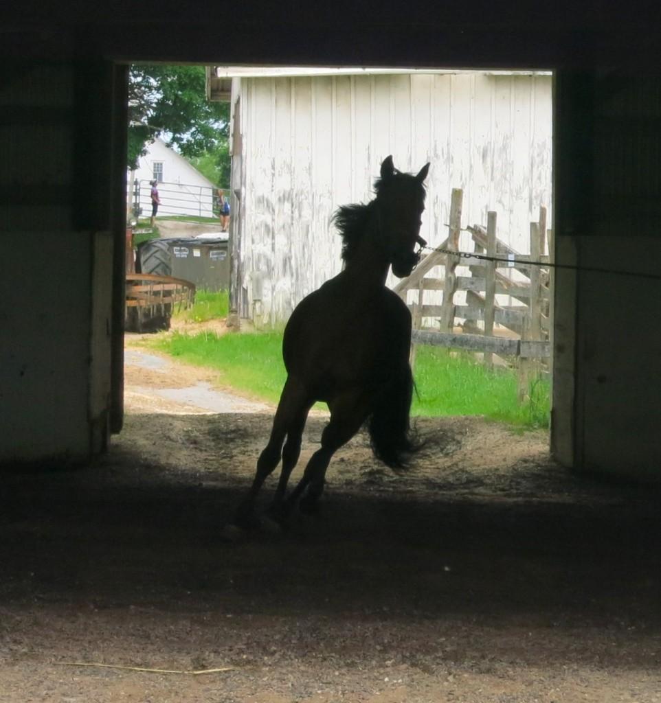 Morgan Horse, Indoor Training Ring, UVM Morgan Horse Farm