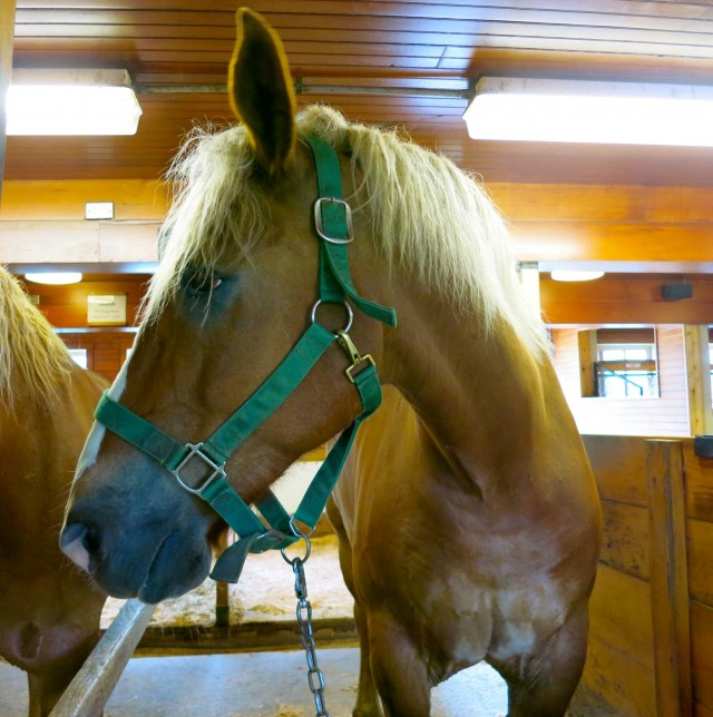 Tom of Tom and Jerry draft horse team