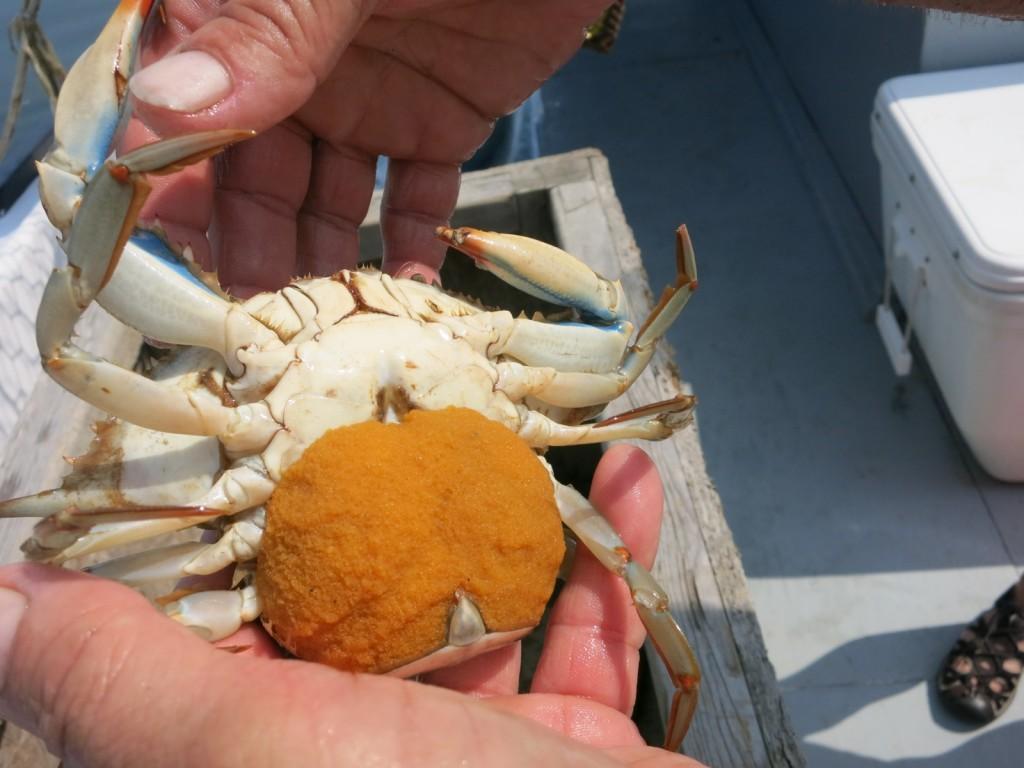 Sponge Crab, Lisa S. Watermen Heritage Tour, MD
