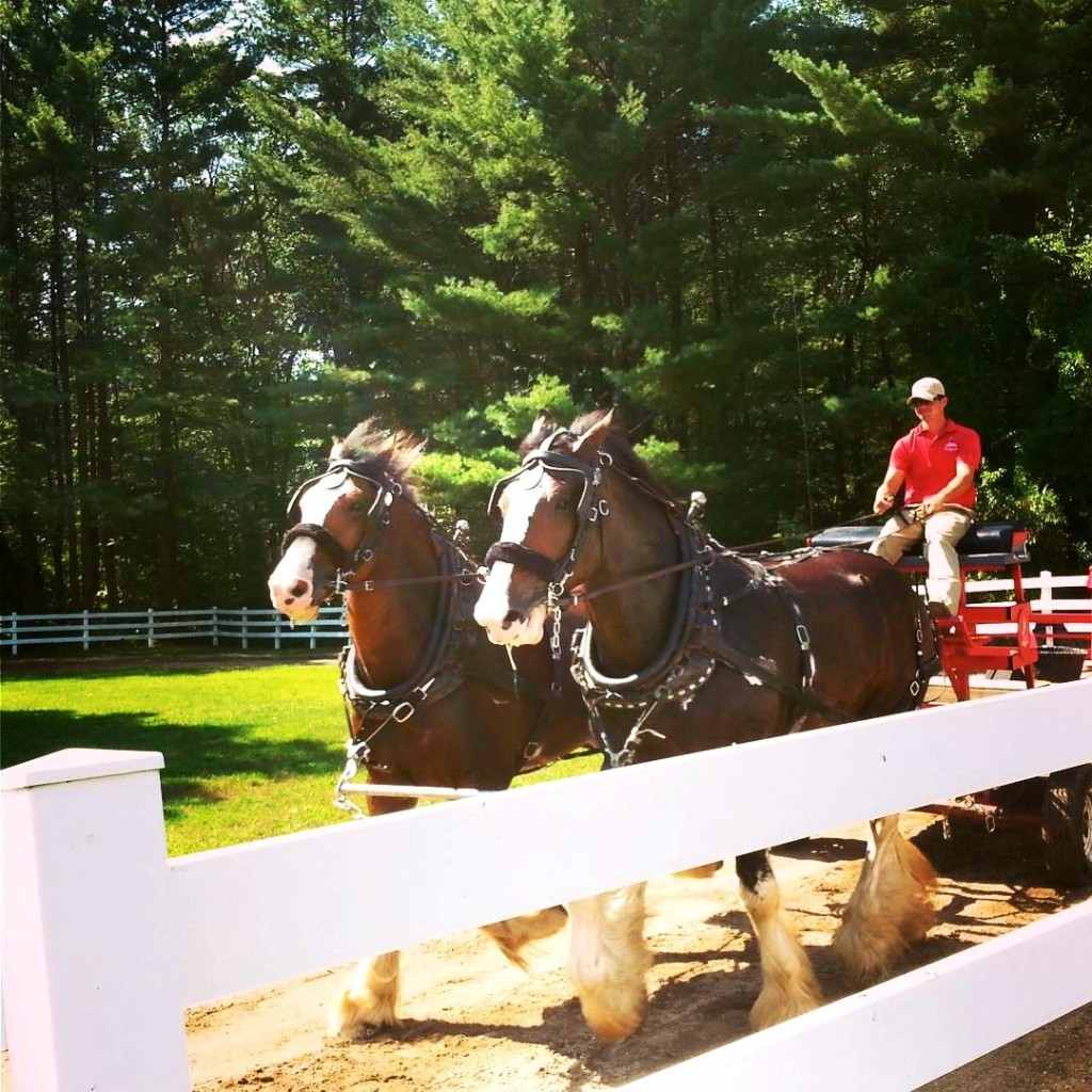 Clydesdales for Budweiser