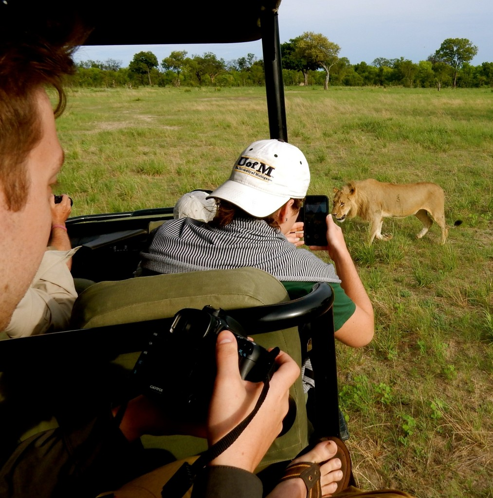 Game drive with lion, Linkwasha Camp, Zimbabwe