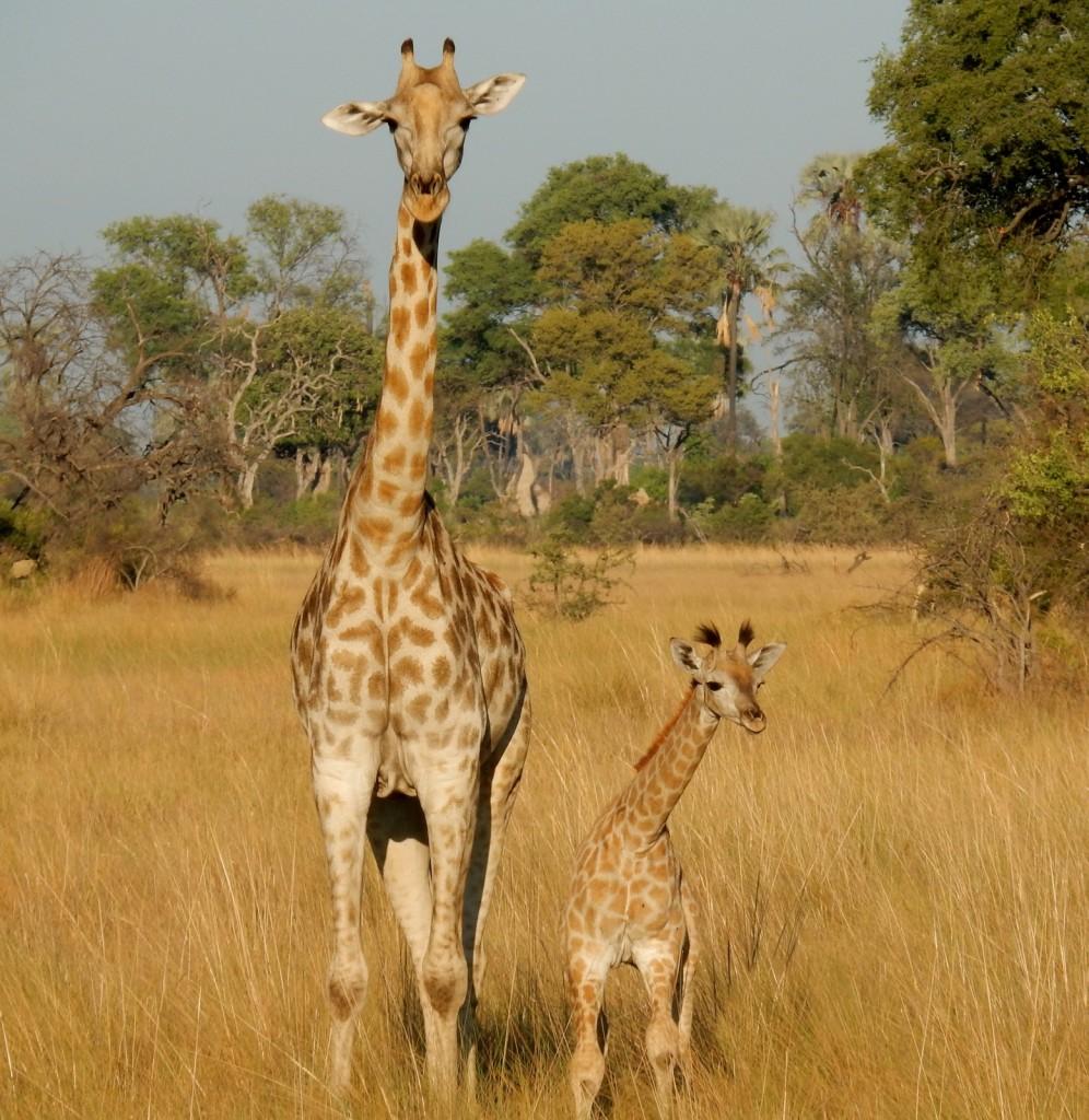 Giraffes Seba Camp