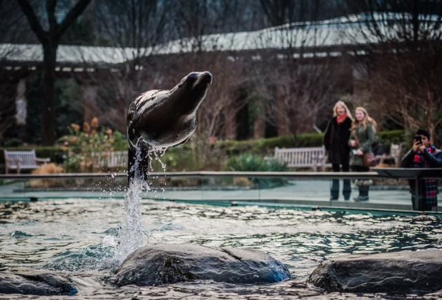 Sea Lion Jump - Central Park Zoo