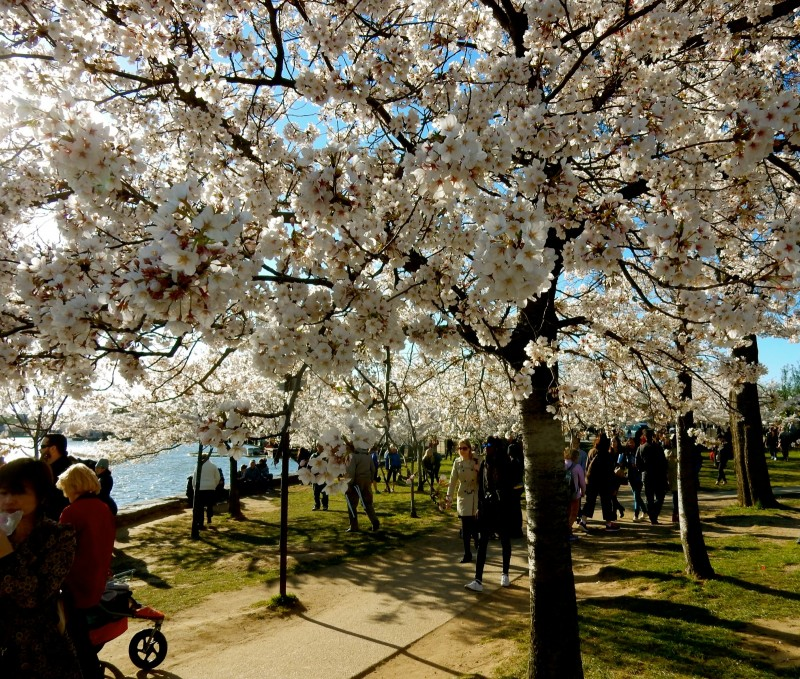 Cherry Blossoms by Tidal Basin, DC
