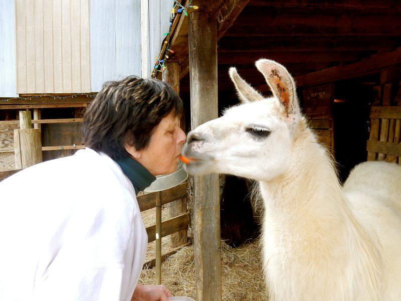 Llama Kiss, Posey Thisisit Llama Farm, Toms Brook VA