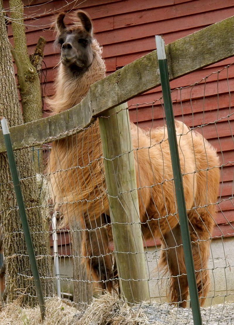 Mocha Man at Posey Thisisit Llama Farm, VA
