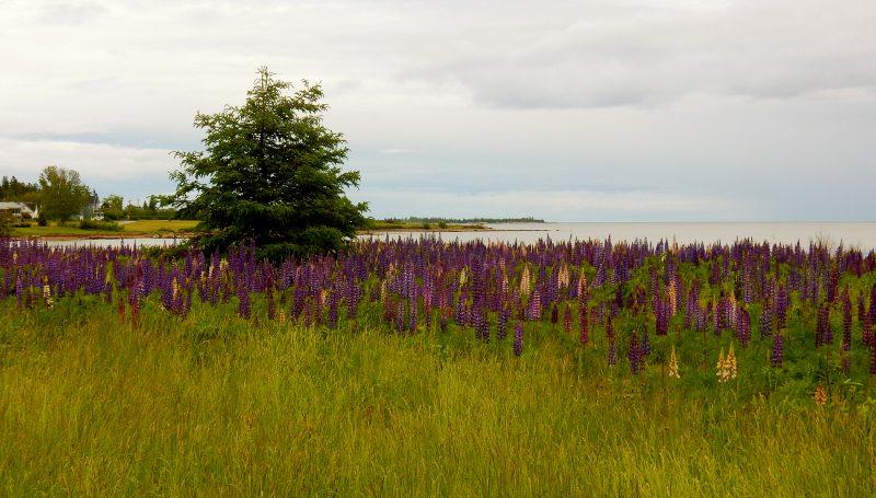 June Lupines in Bloom, Schoodic Peninsula ME