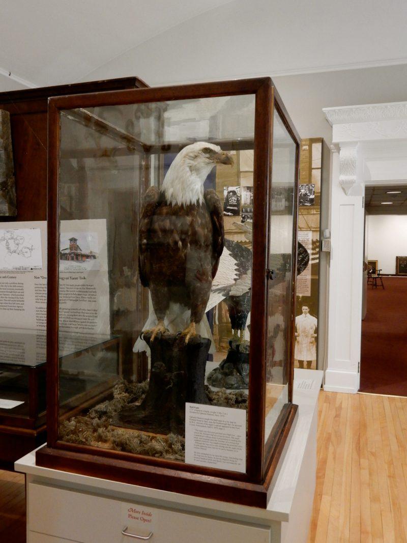 Saco Museum Bald Eagle, Saco ME