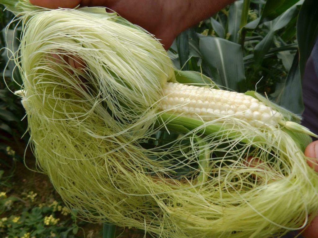 Fresh corn from Sep's Farm East Marion NY