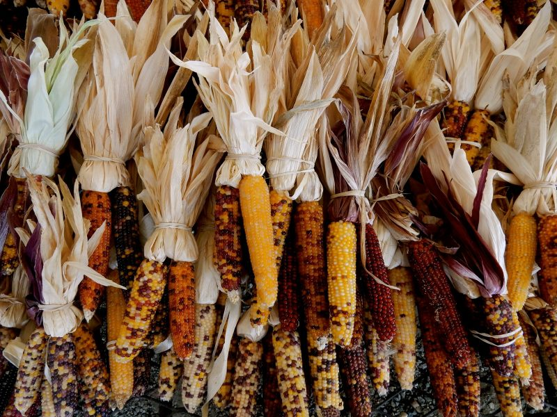 decorative-corn-councell-farms-md