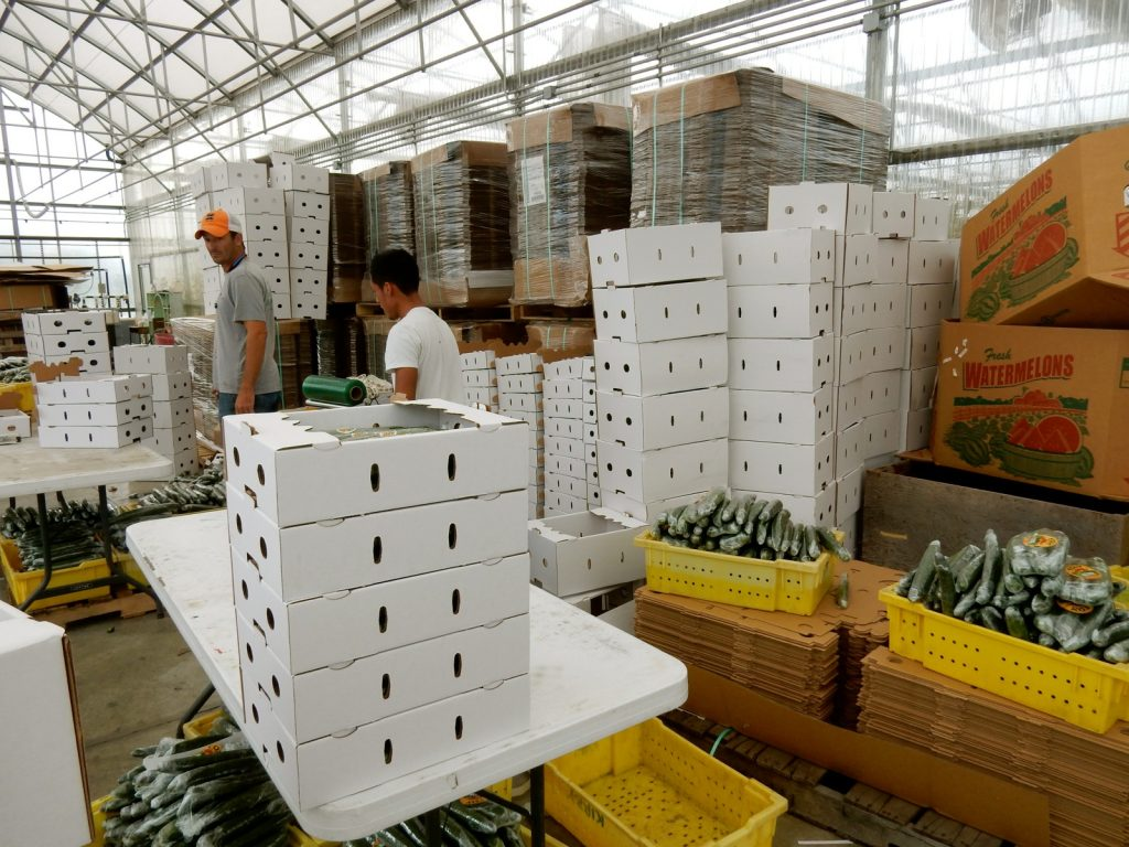 English cucumber production - Fox Meadow - Cordova MD