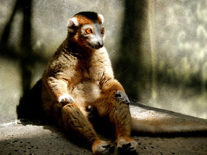 lemur-lincoln-park-zoo-chicago