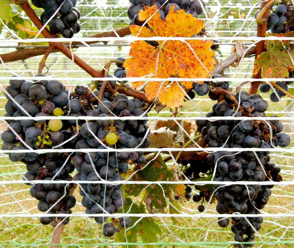 Wine grapes on the vine - Triple Creek