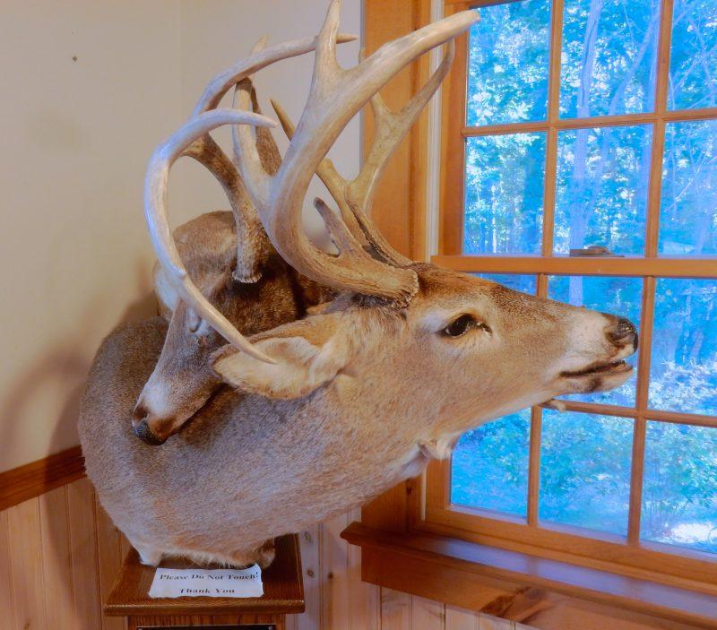deer-with-locked-horns-mashomack-preserve-shelter-island-ny