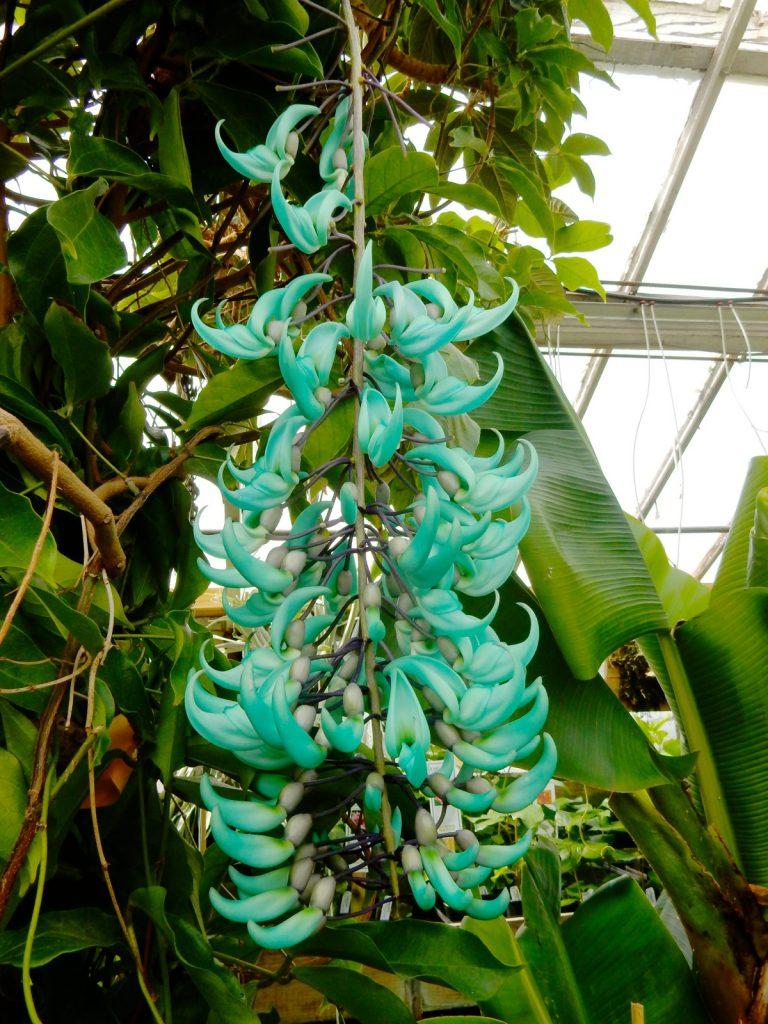 Hanging Jade, Logee's, Danielson CT