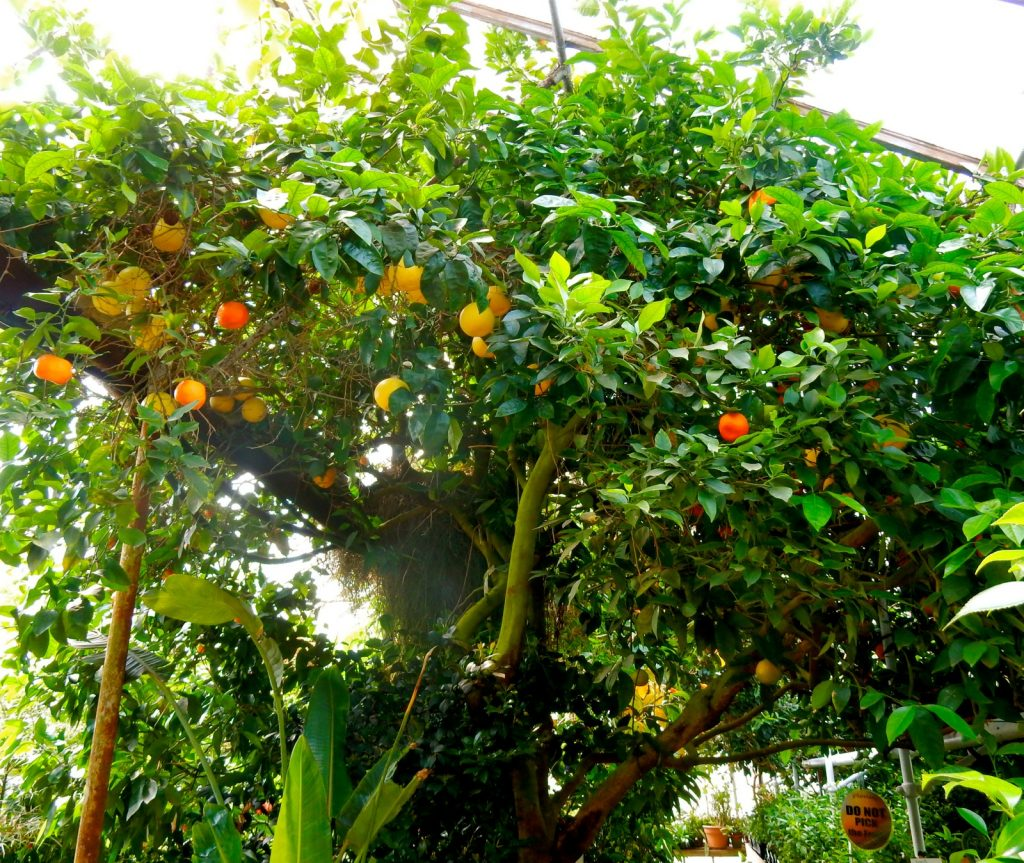 Multi-Citrus Tree, Logee's, Danielson CT
