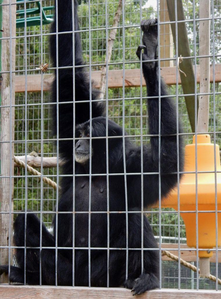 Chimp Plumpton Park Zoo Rising Sun M