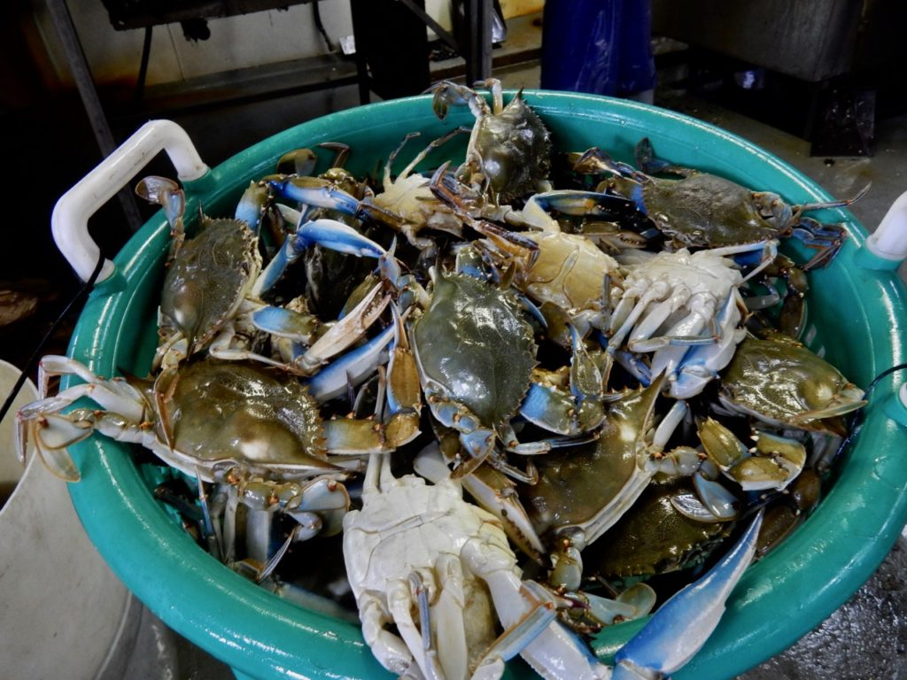 Chesapeake Bay crabs in bucket