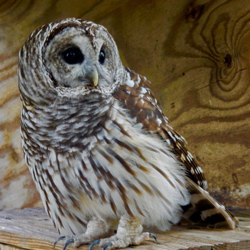 Owl Plumpton Park Zoo Rising Sun MD