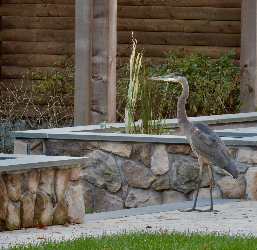 Hungry Heron outside Chatfield Hollow Inn Killingworth CT