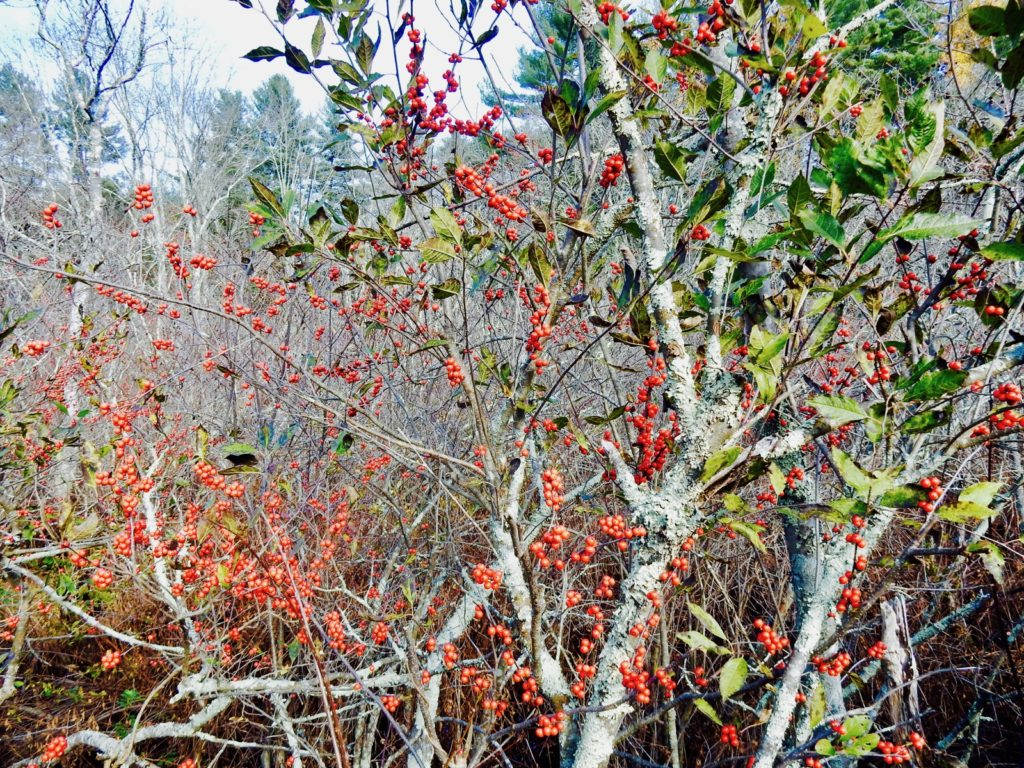 Winterberry Holly shrub in Chatfield Hollow State Park in Killingworth CT