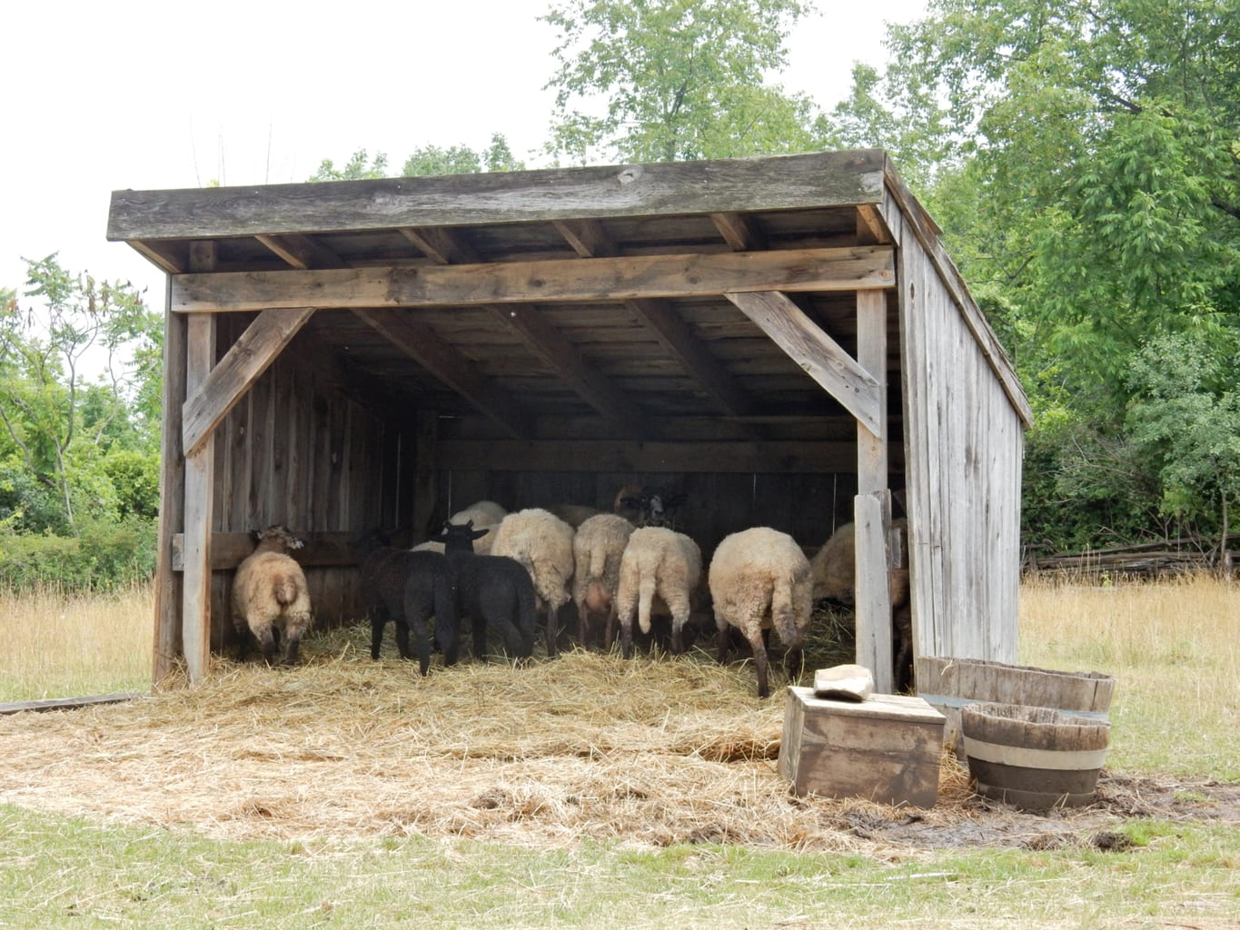 Sheep Genesee Country Village and Museum Mumford NY