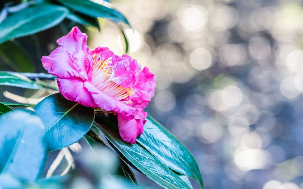 Pink Camellia Japonica 'R.L. Wheeler' at Leu Gardens in Orlando Florida