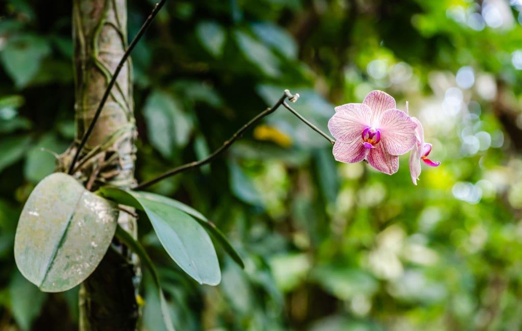 Orchid bloom at Phantasea Botanical Garden in St. Thomas US Virgin Islands