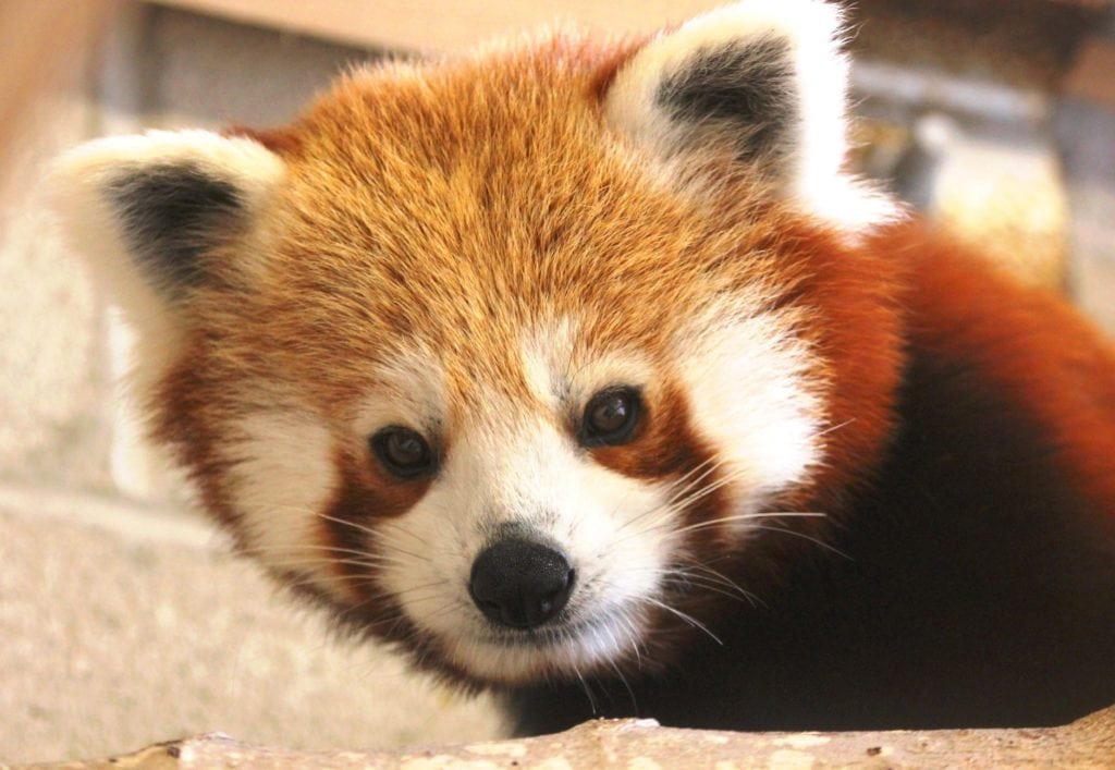 Jacob the Red Panda Buttonwood Park Zoo New Bedford MA