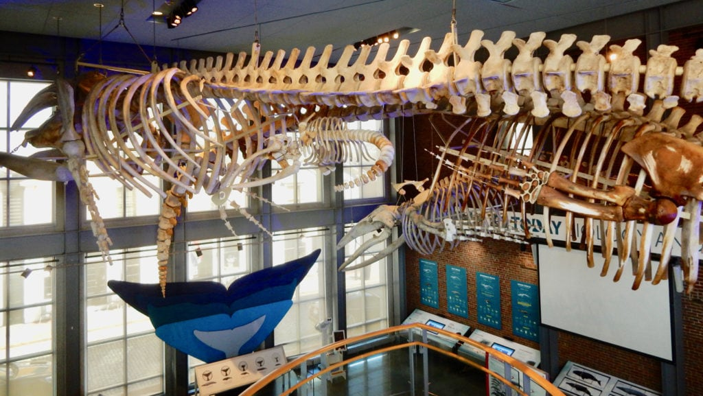 Mother Baby Whale Skeleton New Bedford MA Whaling Museum
