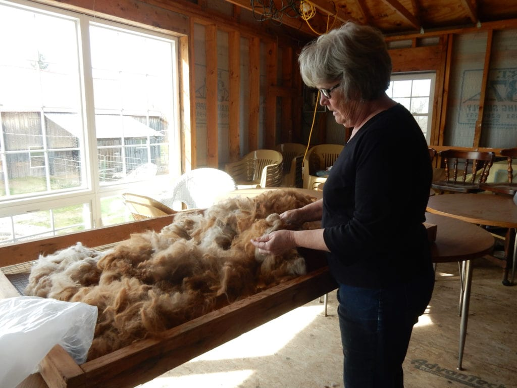 Gail Marsh sorting alpaca hair Home Again Alpaca Farm NY