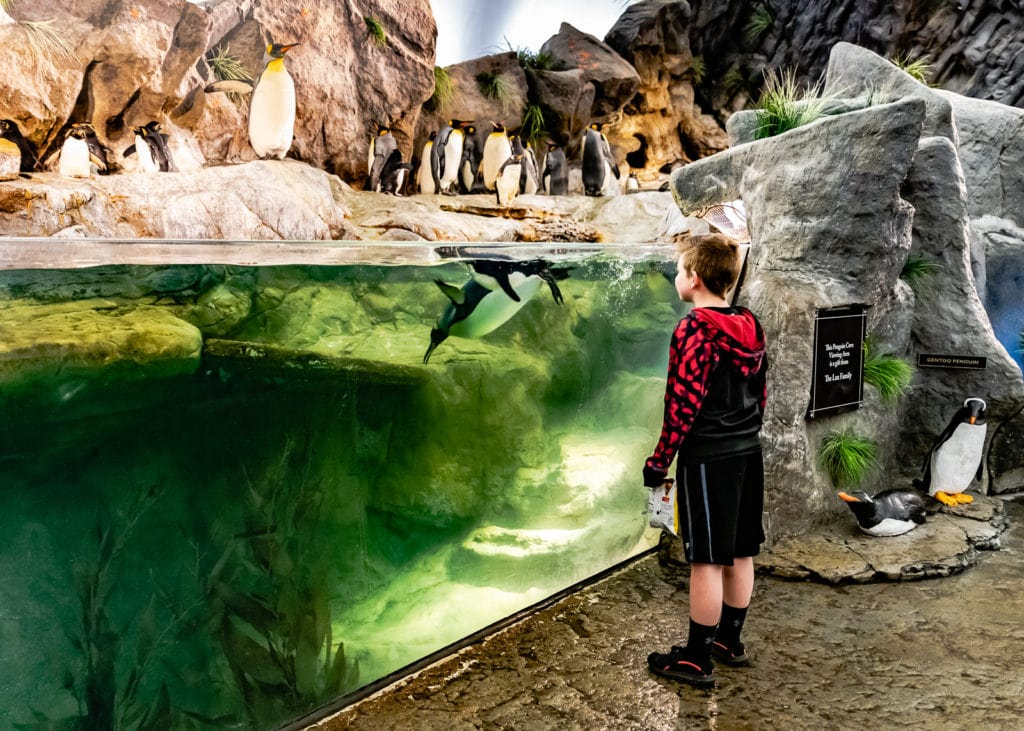 Boy stares at diving penguin at St Louis Zoo.
