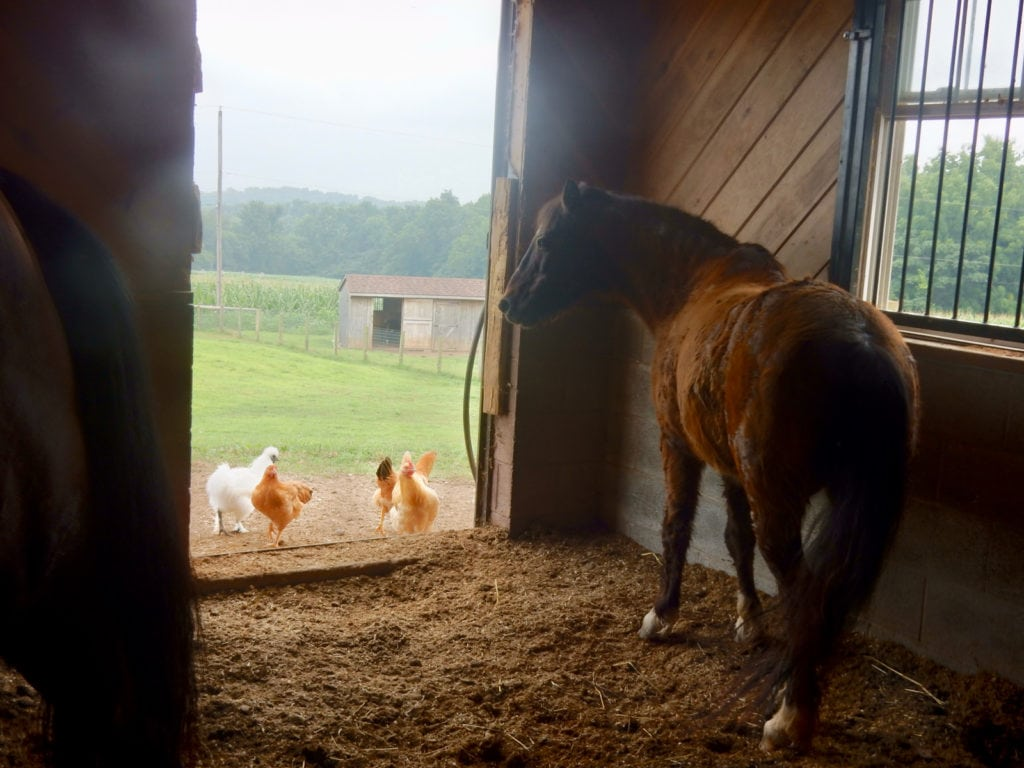 Horse and chickens in Amish Farm Stables Lancaster County PA