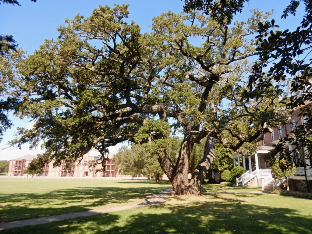 475-year-old Algernourne Oak at Fort Monroe