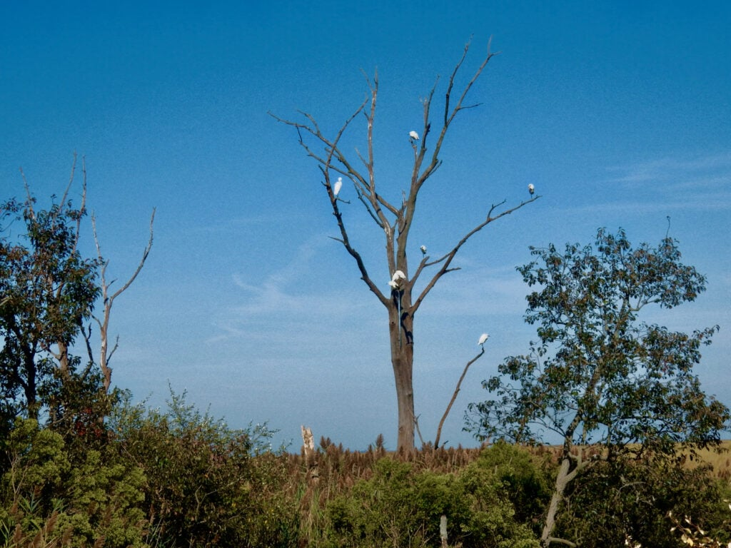Egrets on trees at Bombay Hook National Wildlife Refuge Smyrna DE