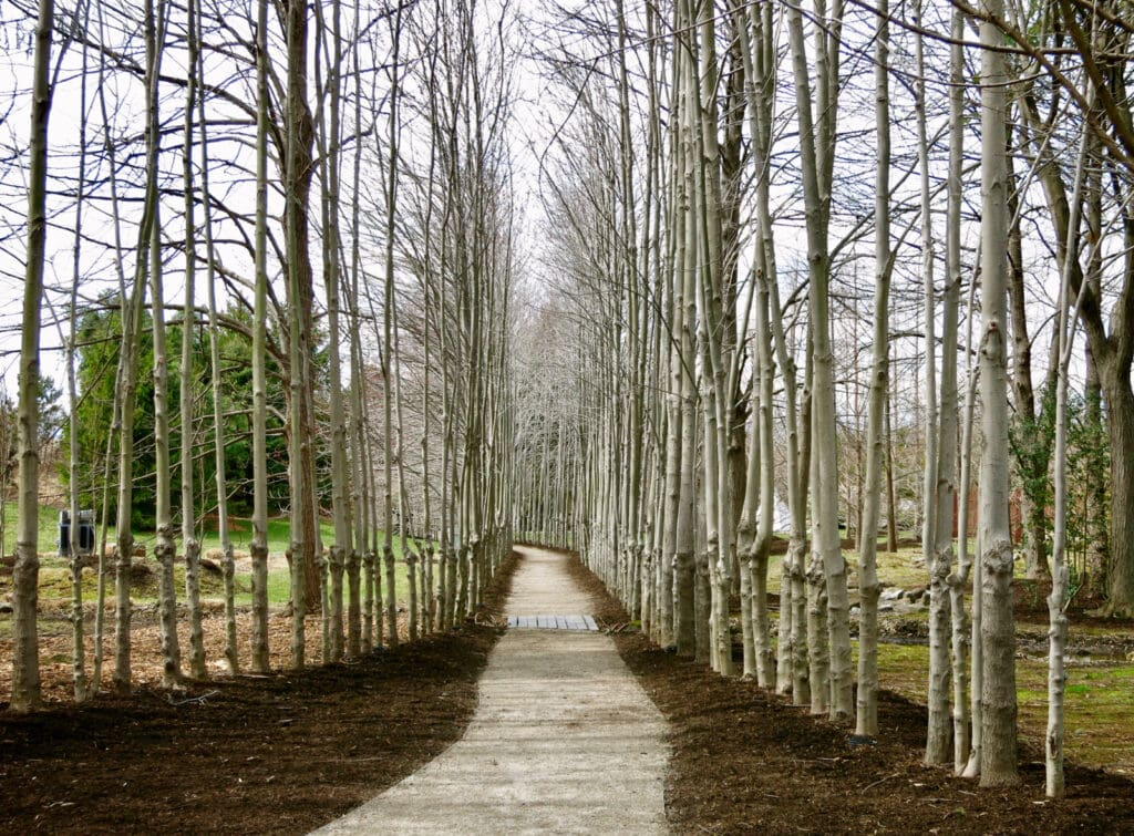 Birch Trees Grounds for Sculpture NJ